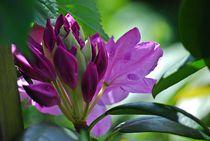 Rhododendron... 2 by loewenherz-artwork