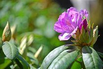 Rhododendron... 22 von loewenherz-artwork