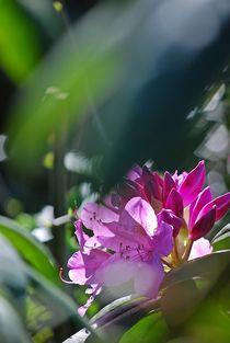 Rhododendron... 17 von loewenherz-artwork