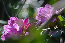 Rhododendron... 16 von loewenherz-artwork
