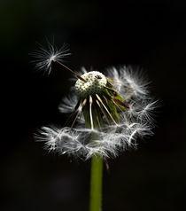 pusteblume by fotolos
