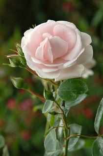 Zart rosa rote Rose von Heinrich Winkelmann
