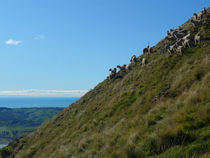 New Zealand - sheep grazing - beautiful view von Bianca  Rüffer