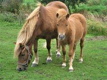 Ponystute und Fohlen auf der Weide von assy