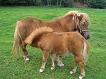 Ponyfohlen trinkt bei der Mutter von assy
