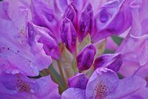 Rhododendron... 23 von loewenherz-artwork
