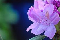 Rhododendron... 24 von loewenherz-artwork