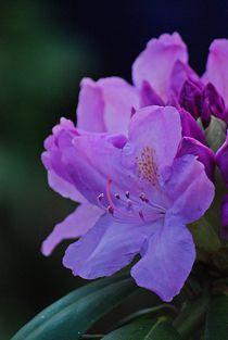 Rhododendron... 26 von loewenherz-artwork