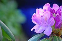 Rhododendron... 7 by loewenherz-artwork