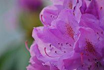 Rhododendron... 9 by loewenherz-artwork