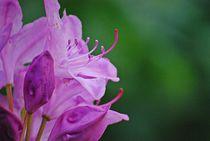 Rhododendron... 25 von loewenherz-artwork