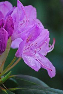 Rhododendron... 27 von loewenherz-artwork
