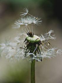 Dandelion -  Seed bank by Chris Berger