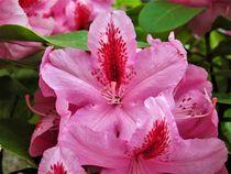 Rhododendronblüte mit hübscher Füllung by assy