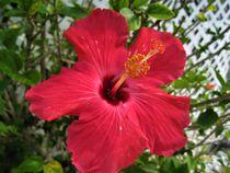 Hibiskusblüte von assy