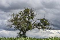 Der Mistelbaum by thomas-digital