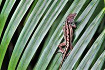 kleine Florida-Eidechse auf einem Palmenblatt von assy