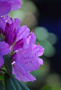Rhododendron... 10 von loewenherz-artwork