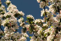 Blooming apple tree by zlange