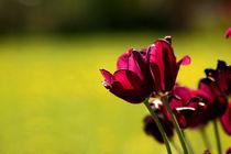 Dark lilac tulips von zlange