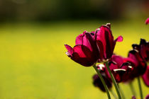 Dark lilac tulips by zlange