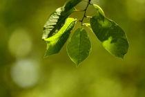Summer leaves  by zlange