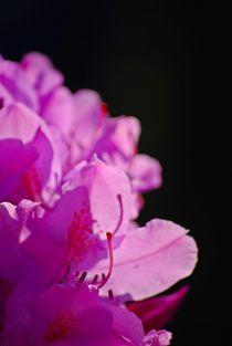 Rhododendron... 14 von loewenherz-artwork