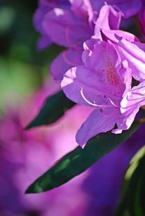 Rhododendron... 11 von loewenherz-artwork