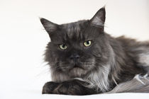 Maine Coon / 83 by Heidi Bollich