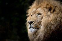 lion king von bazaar