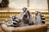 lemur von bazaar