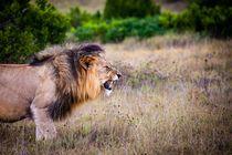 angry lion von bazaar