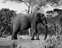 elephant blackandwhite by bazaar