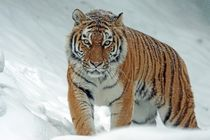 snow and tiger by bazaar