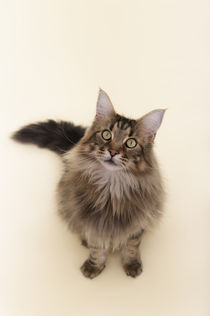 Maine Coon / 84 by Heidi Bollich