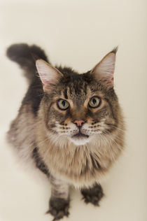 Maine Coon / 82 by Heidi Bollich