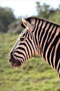 Zebra-Portrait by assy