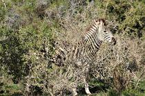gut getarnt das junge Zebra by assy