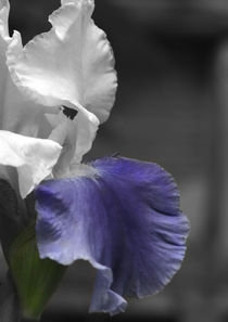 White and Purple Iris by June Buttrick