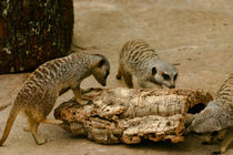 Curious Meerkats by June Buttrick