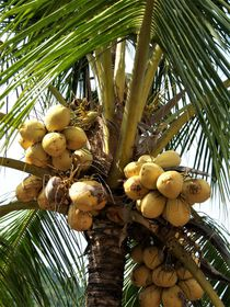 Kokospalme von assy