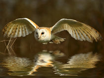 Barn Owl with reflection by Bill Pound
