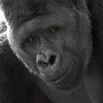 Silverback Gorilla von Bill Pound