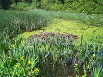 grüne Natur, ein Tümpel von assy