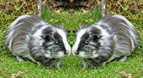 Meerschweinchen Zwillinge by kattobello