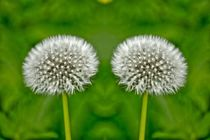 Doppel Pusteblume von kattobello