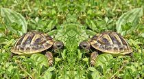 Schildkröten Zwillinge von kattobello