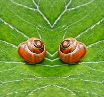 Schnecken Zwilling von kattobello
