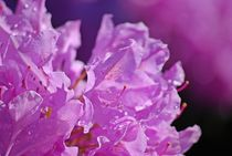 Rhododendron... 28 von loewenherz-artwork