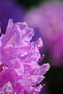 Rhododendron... 30 von loewenherz-artwork